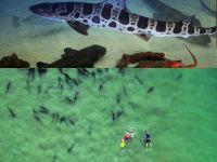 Leopard Sharks La Jolla Shores and LCDC 200px Wide copy